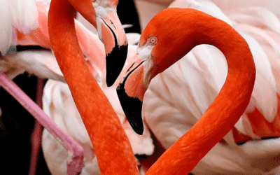 Fascinating Flamingos
