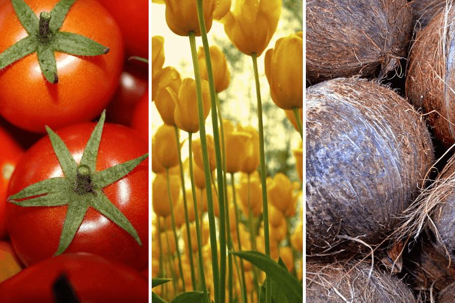 Tomate-Tulipe-et-noix-de-coco