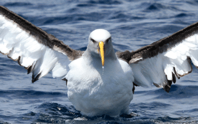 Albatross Conservation in the Subantarctic Islands