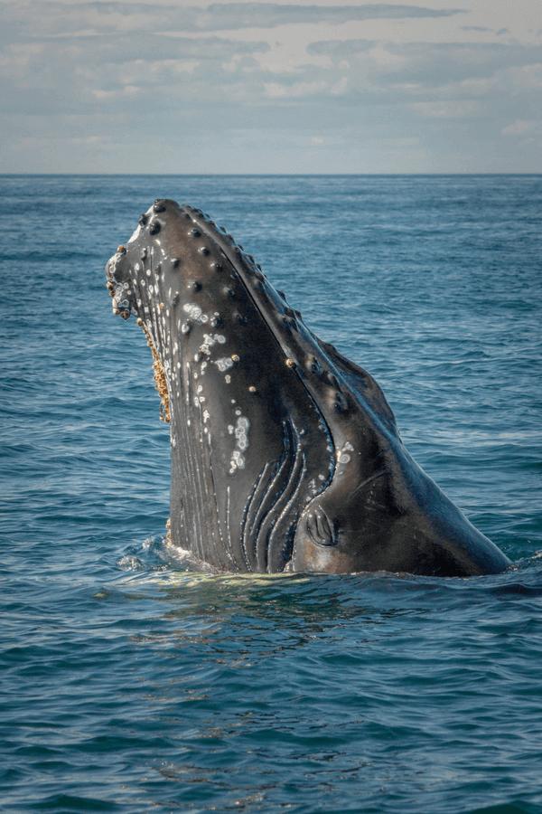 baleine-fleuve-saint-laurent