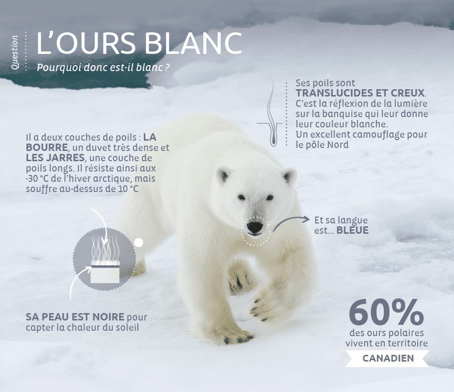 ours-blanc-curiosité-v2
