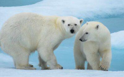 L'ours polaire, plus blanc que blanc ?