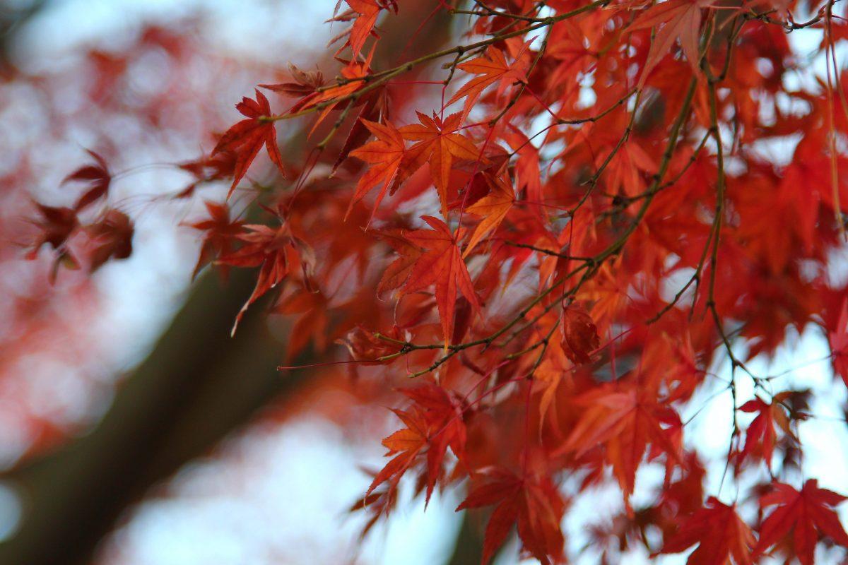 photo-japon-automne-feuille-erable-1200×800