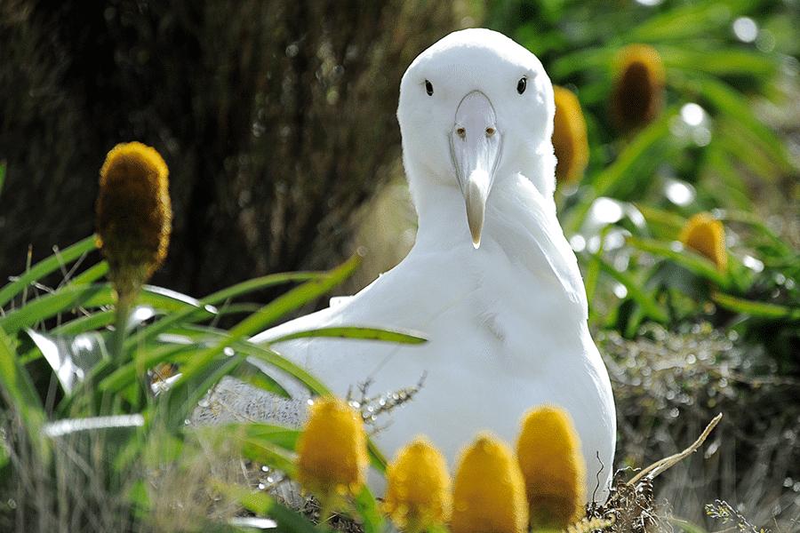 southern-royal-albatross-900×600