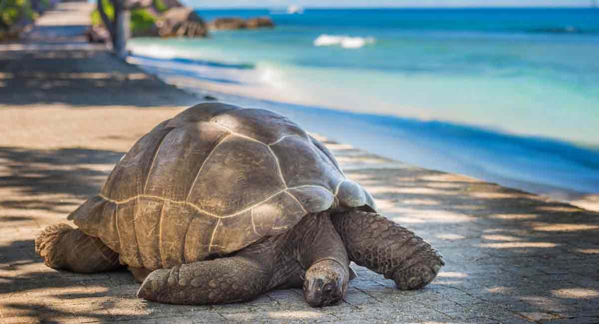 tortue-Aldabra-Seychelles