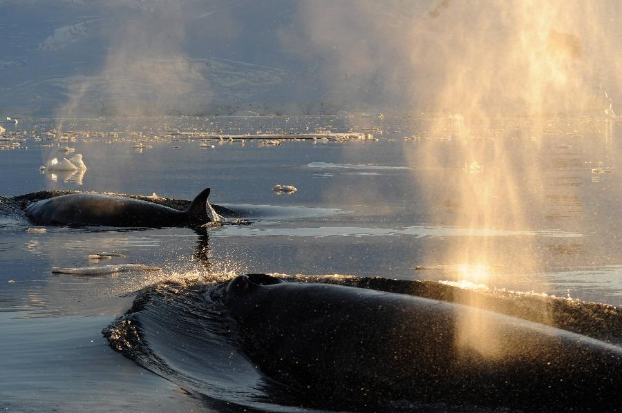 2-Minke-whale-Sortie-de-la-baie-de-Neko-Antarctique-©-Studio-Ponant-_-Nathalie-Michel-1