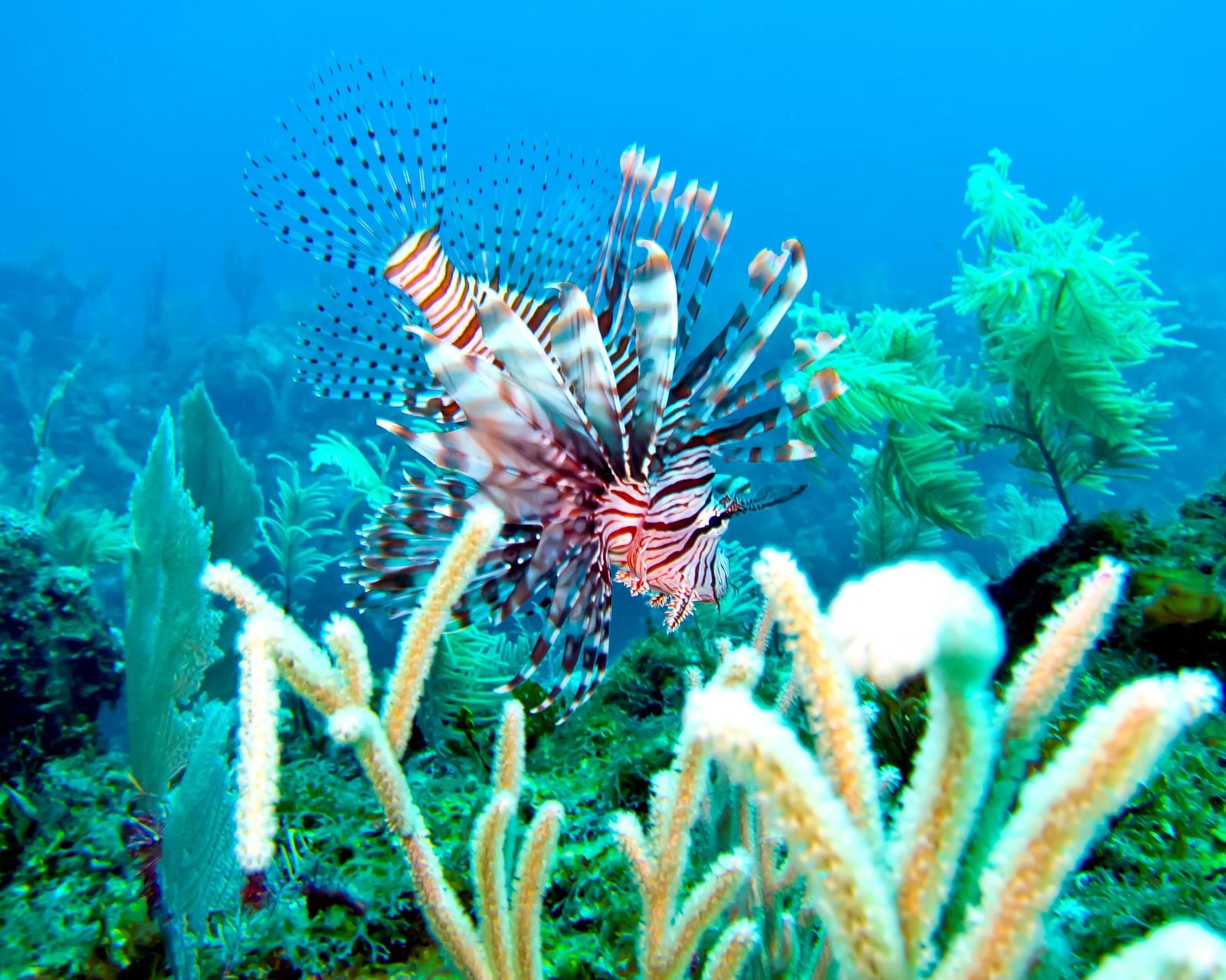 Lionfish Caye Chapel Caye Caulker Marine Reserve Belize