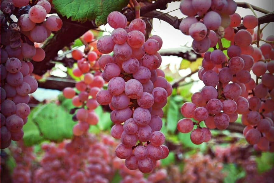 Koshu Grape