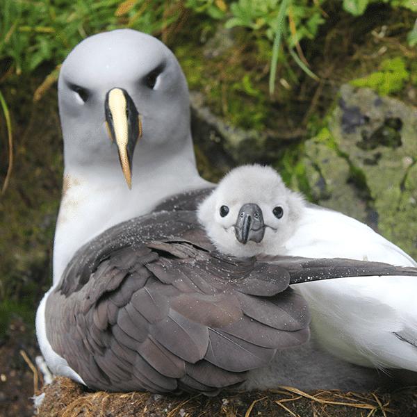 albatross-push-600×600