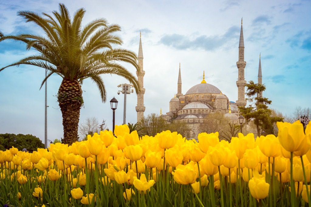 blue-mosque-istanbul-turkey-palm-tree-and-yellow-tulips-on-the-first-picture-id1143078082
