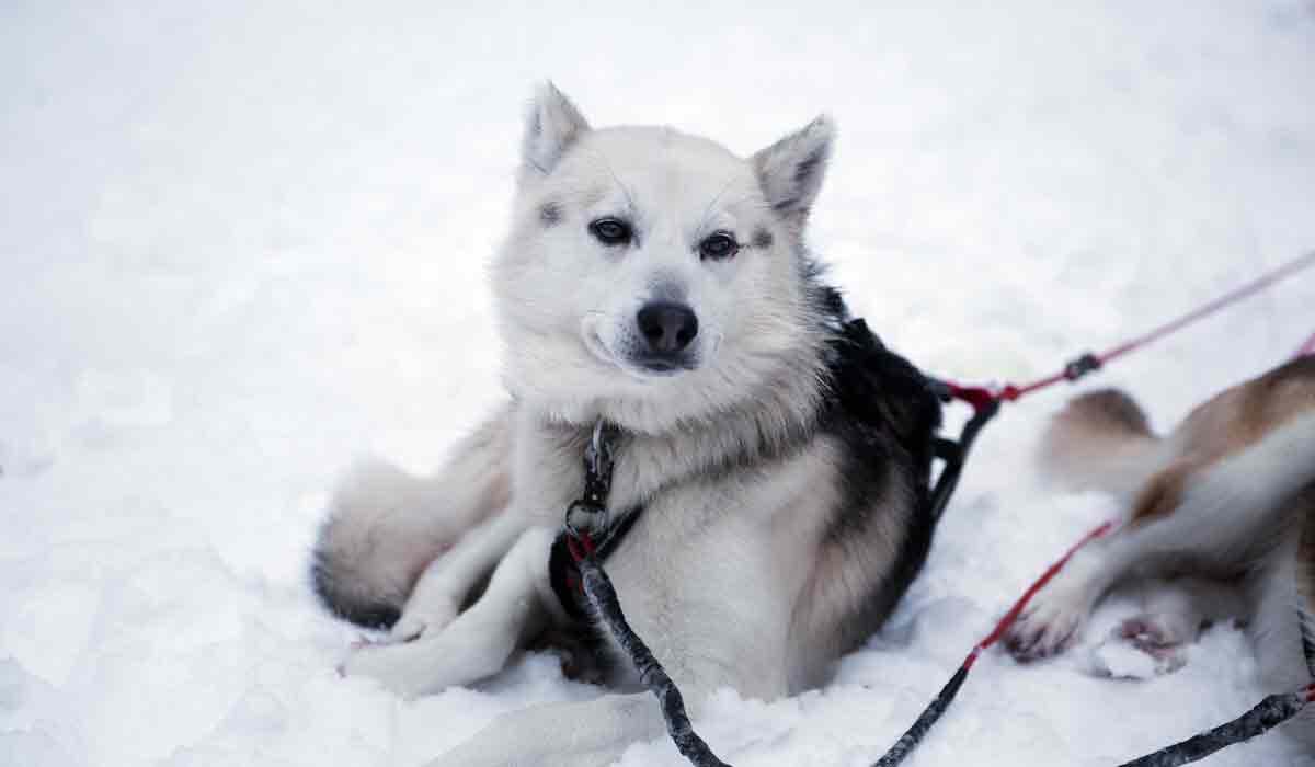 chien-traineau-neige