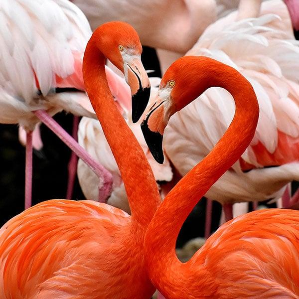 flamingos-push-600×600