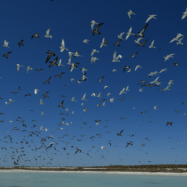 Vol d'oiseaux au dessus des îles Lacépède, nord de l'Australie