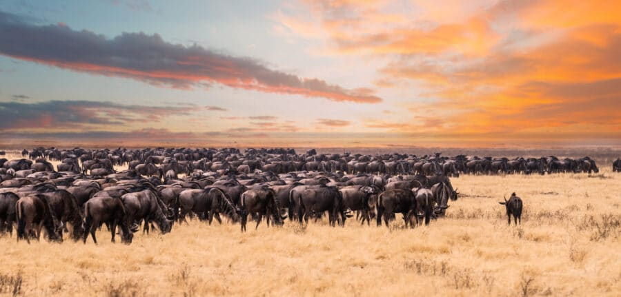 The great migration in Serengeti National Park,Tanzania