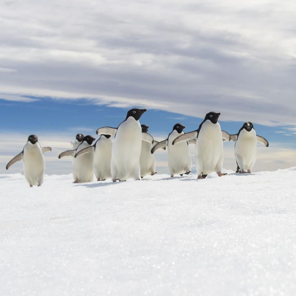 pingouins-push
