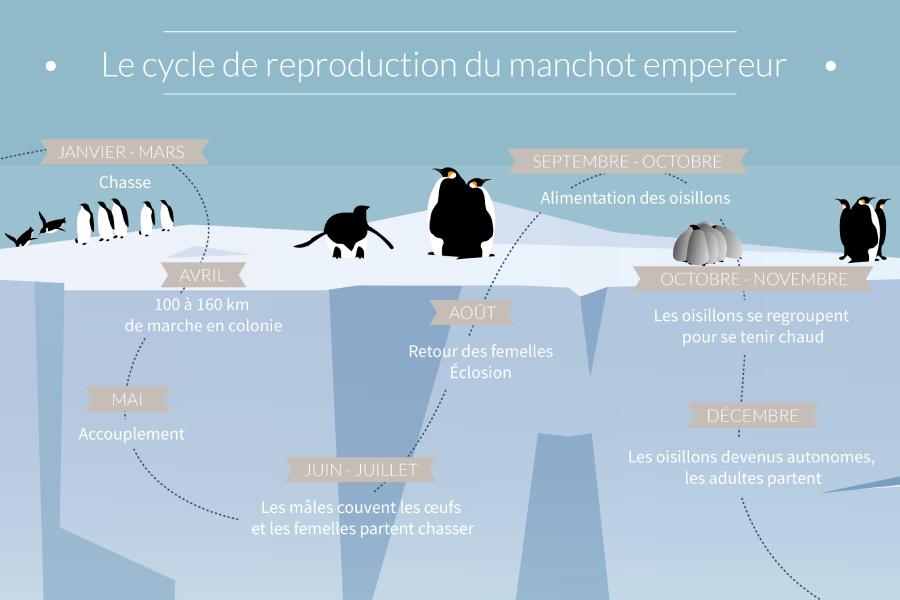 Tout savoir sur le Manchot Empereur et son mode de reproduction