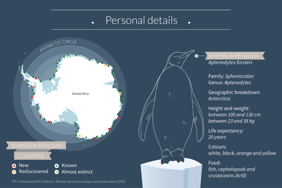 Learn all there is to know about the Emperor Penguin and its reproductive cycle